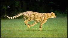 fast-cheetah